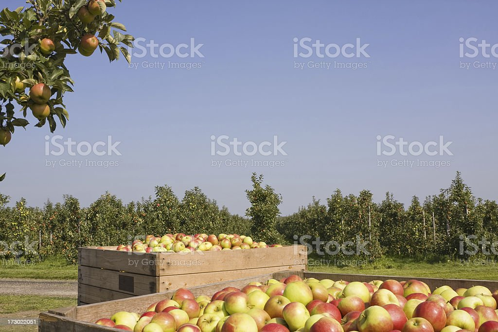 Harvest time - orchard # 44 XL royalty-free stock photo