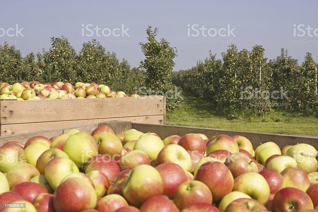 Harvest time - orchard # 46 XL royalty-free stock photo