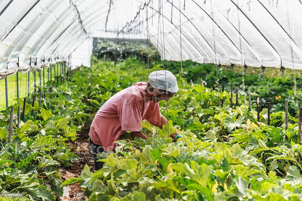 Harvest tomato in greenhouse Lizenzfreies stock-foto