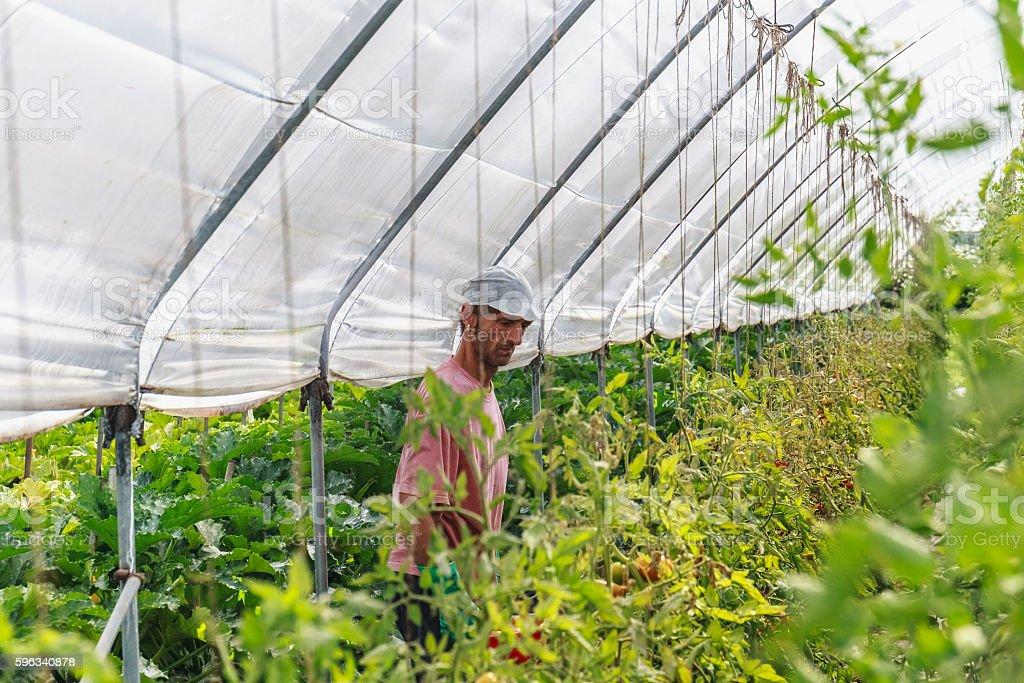 Harvest tomato royalty-free stock photo