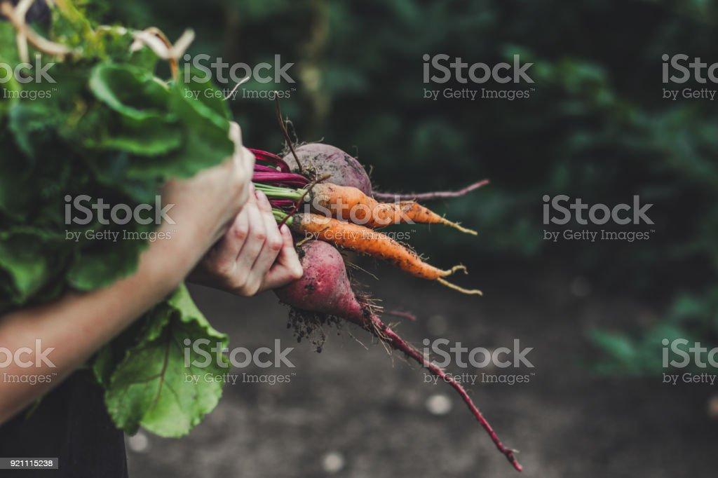 Vegetales de la cosecha: un montón de verduras frescas en sus manos (remolachas, zanahorias, habas, cebollas, ajo y otros) foto de stock libre de derechos