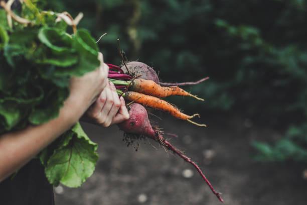 zbierz warzywa: pęczek świeżych warzyw w rękach (buraki, marchew, fasola, cebula, czosnek i inne) - zbierać plony zdjęcia i obrazy z banku zdjęć