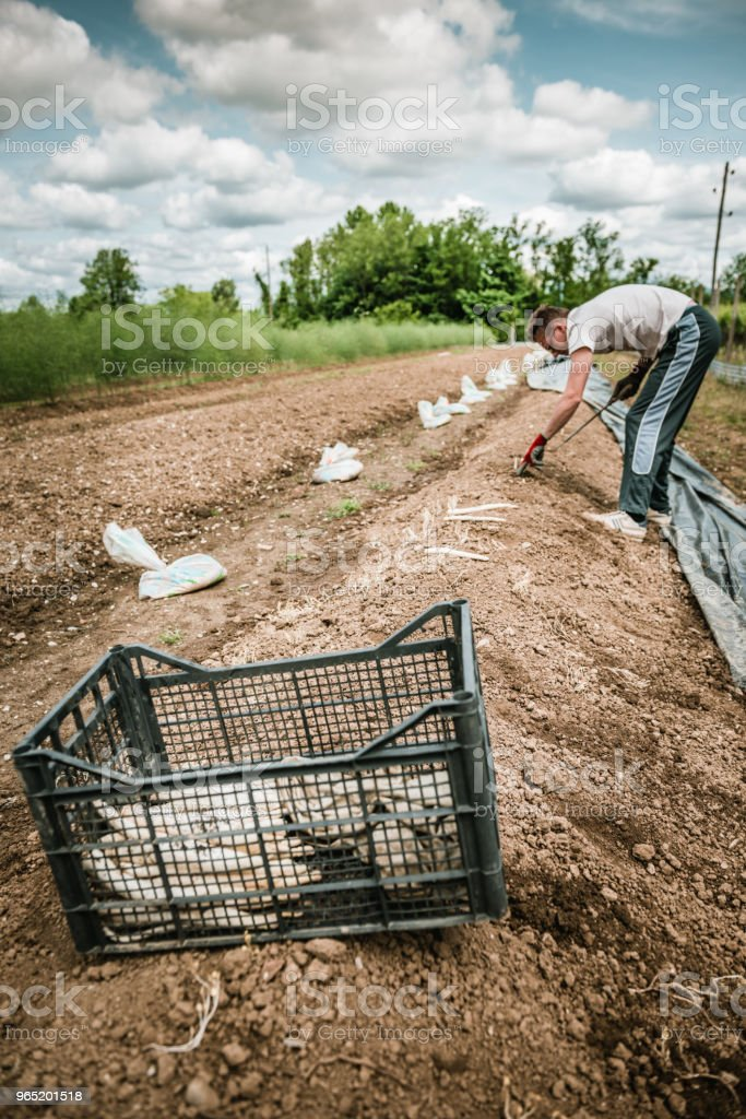 harvest white asparagus royalty-free stock photo