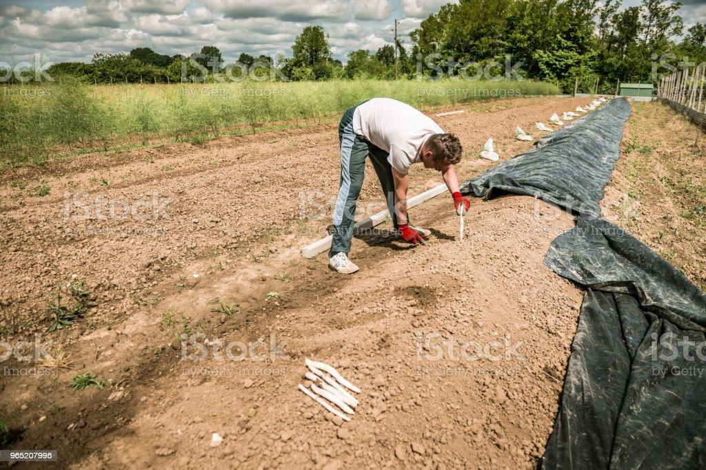 harvest white asparagus zbiór zdjęć royalty-free