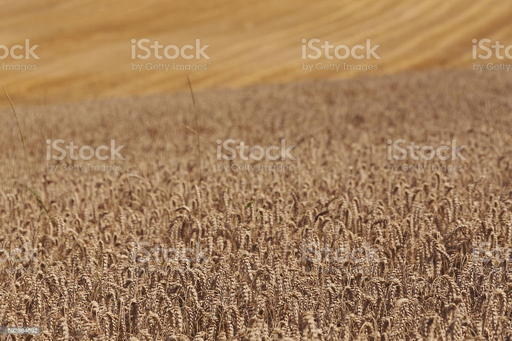 harvested and unharvested field stock photo