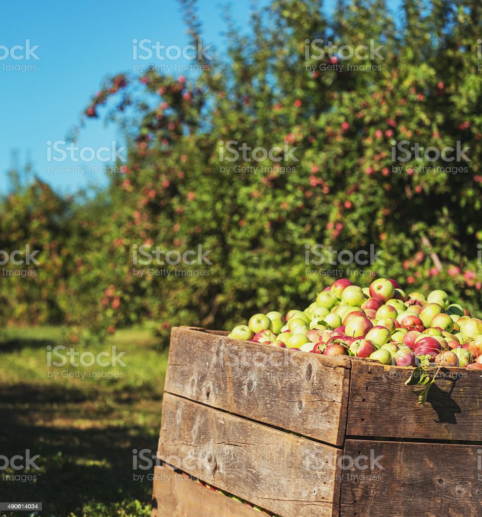 Harvested Apples stock photo