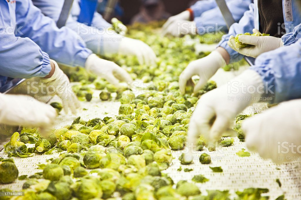 Harvested Brussels Sprouts on conveyor Belt stock photo
