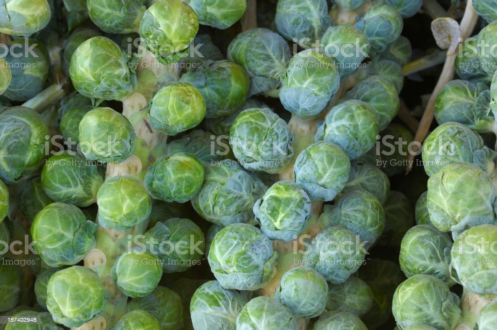 Harvested Brussels Sprouts Stalk royalty-free stock photo