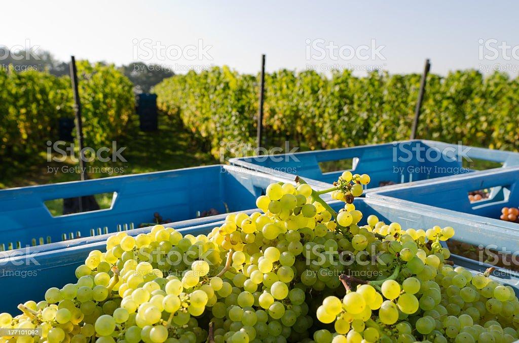 harvested chardonnay stock photo
