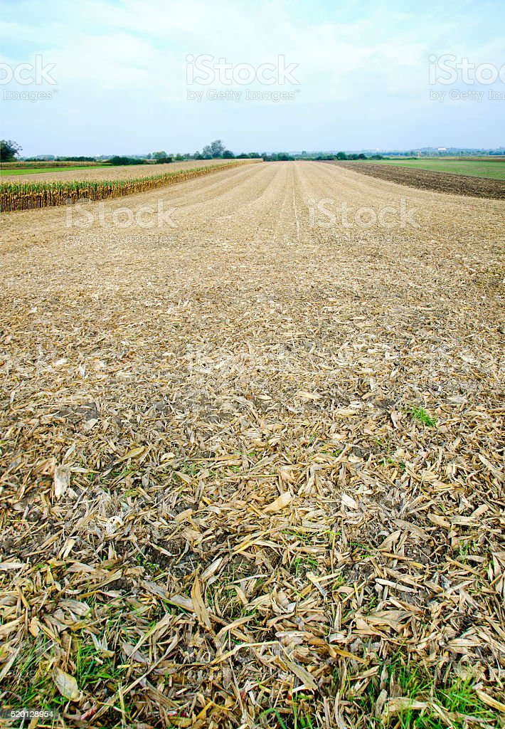 harvested corn field stock photo