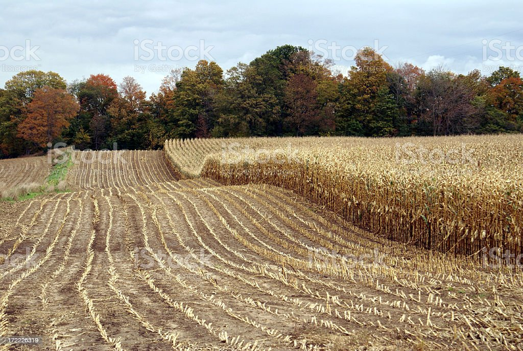 Harvested cornfield, unharvested field, and autumn trees stock photo