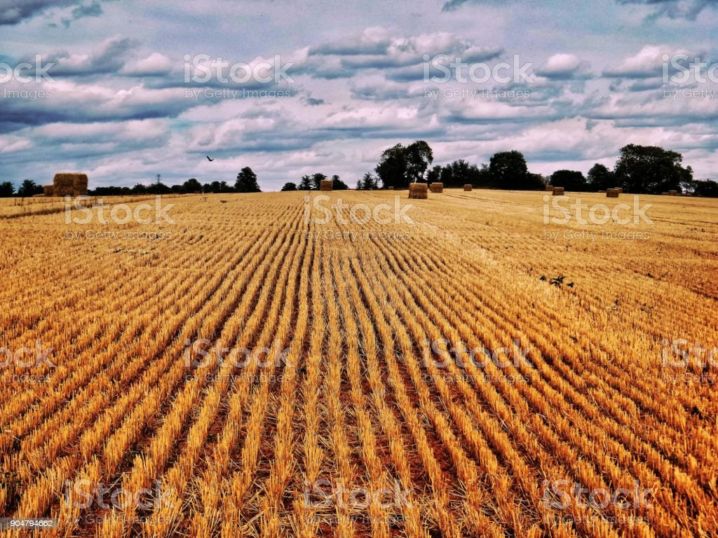 harvested cornfield with stubble lush golden HDR landscape rural crops agriculture uk stock photo