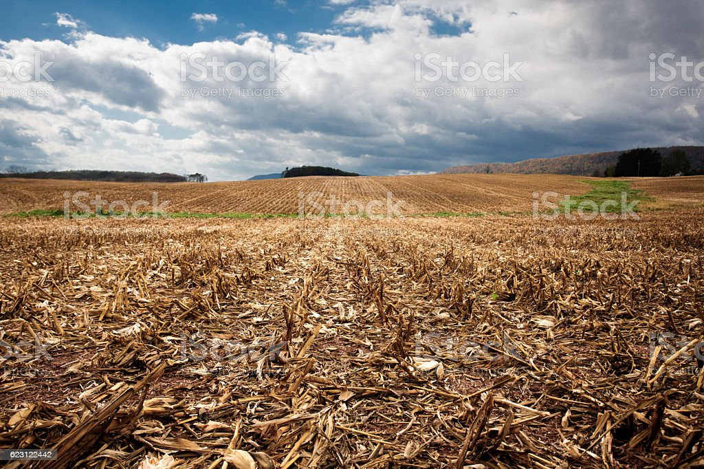 harvested field of corn stubble stock photo