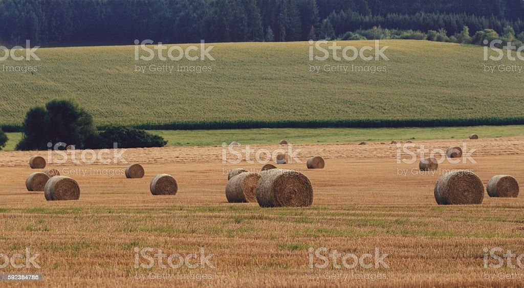 harvested field with straw bales in summer stock photo