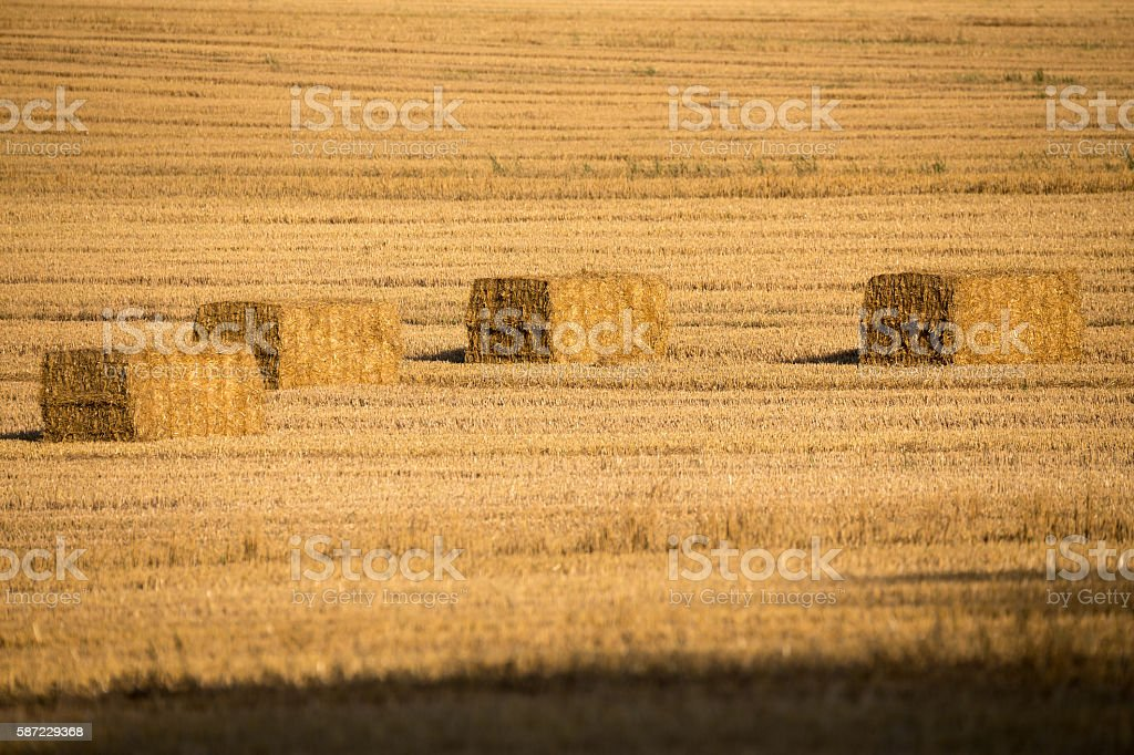 harvested field with straw lines stock photo