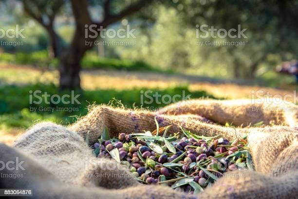 Harvested fresh olives in sacks in a field in crete greece for olive picture id883064876?b=1&k=6&m=883064876&s=612x612&h=o8jstdritfcxuj28qakzv6ph39rl80p2wl4kvq20cxa=