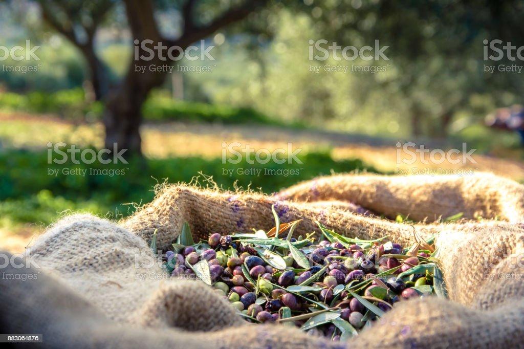Azeitonas frescas colhidas em sacos em um campo em Creta, Grécia, para produção de azeite - foto de acervo