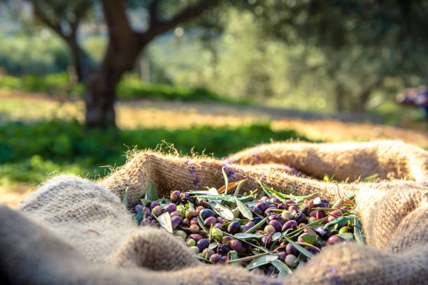 Harvested fresh olives in sacks in a field in Crete, Greece for olive oil production Harvested fresh olives in sacks in a field in Crete, Greece for olive oil production olives stock pictures, royalty-free photos & images