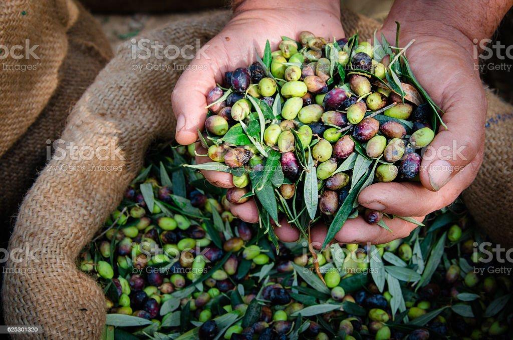 Harvested fresh olives in sacks. stock photo