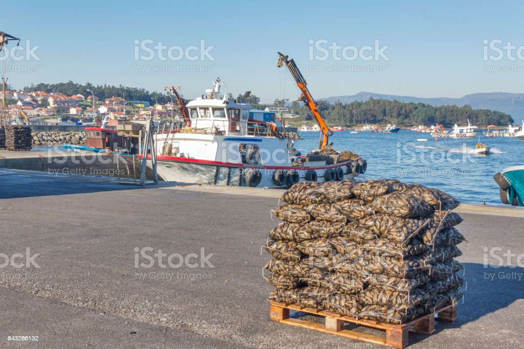 Harvested mussel bags stock photo