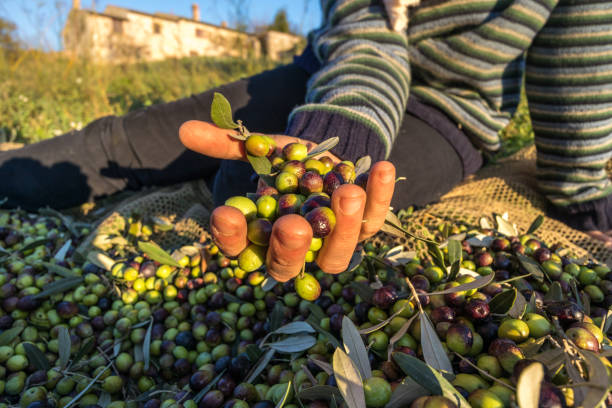 Harvested Olives iin Hand Close Up Macro working in Italian Farm Harvested Olives iin Hand Close Up Macro working in Italian Farm umbria stock pictures, royalty-free photos & images