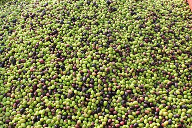 Olives récoltées dans un moulin à huile d'olive en Grèce. - Photo
