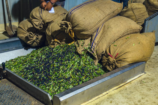 harvested olives loading from sacks to press hopper - defoliator stock pictures, royalty-free photos & images