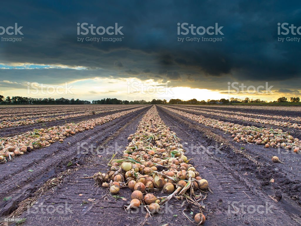 Harvested Onion Bulbs in a Field stock photo