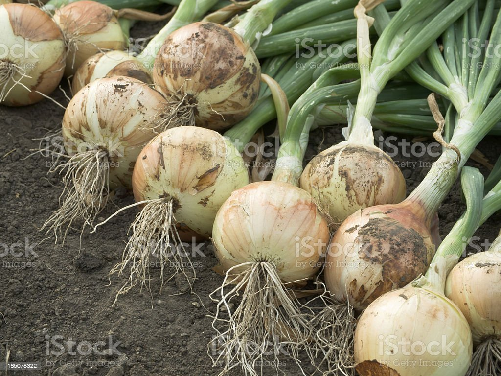 Harvested onions lay in dirt stock photo