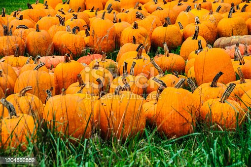 Dozens of ripe orange pumpkins rest in the grass of a Vermont meadow on an October afternoon.