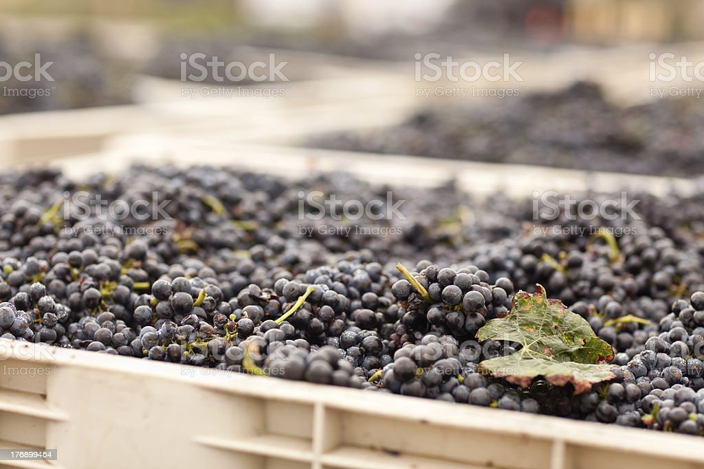 Harvested Red Wine Grapes in Crates royalty-free stock photo