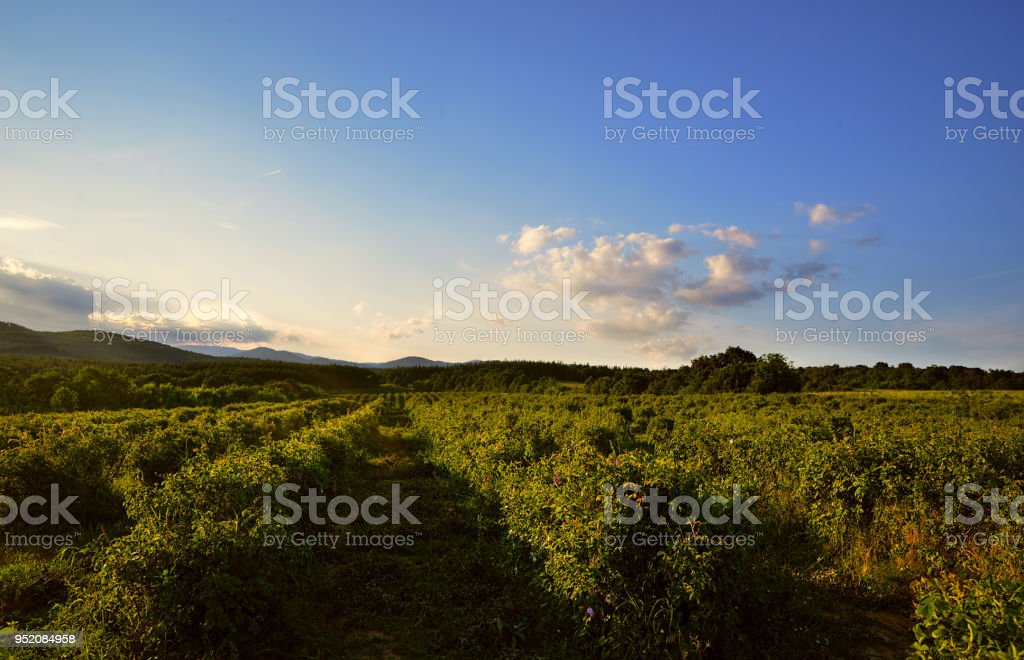 Harvested rose field before the sunset in Sredna Gora mountains,...