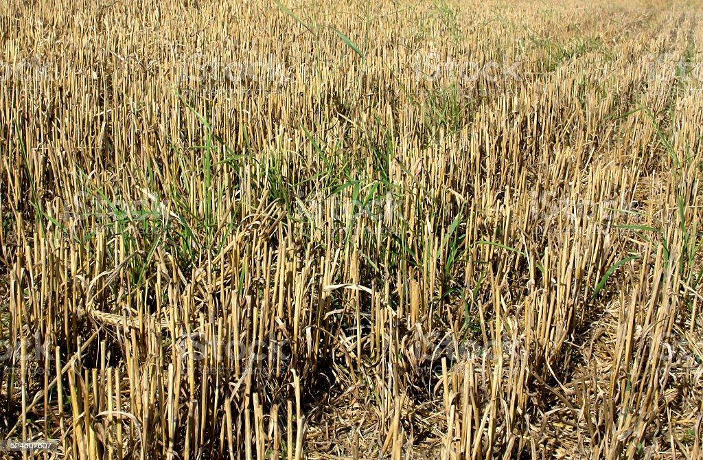 Harvested stubble fields stock photo