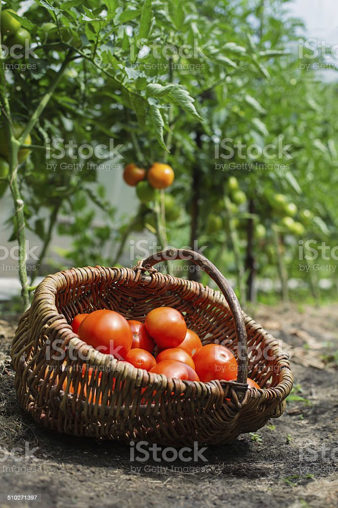 Harvested tomatoes in basket at the farm stock photo