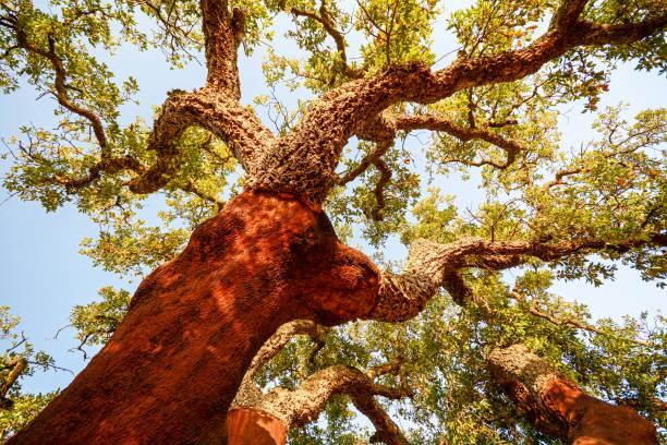Geernteten Stamm eines alten Baumes Korkeiche (Quercus Suber) in Abendsonne, Alentejo Portugal Europa – Foto