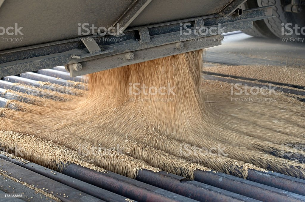 Harvested wheat kernels pouring into auger grate at grain elevator stock photo