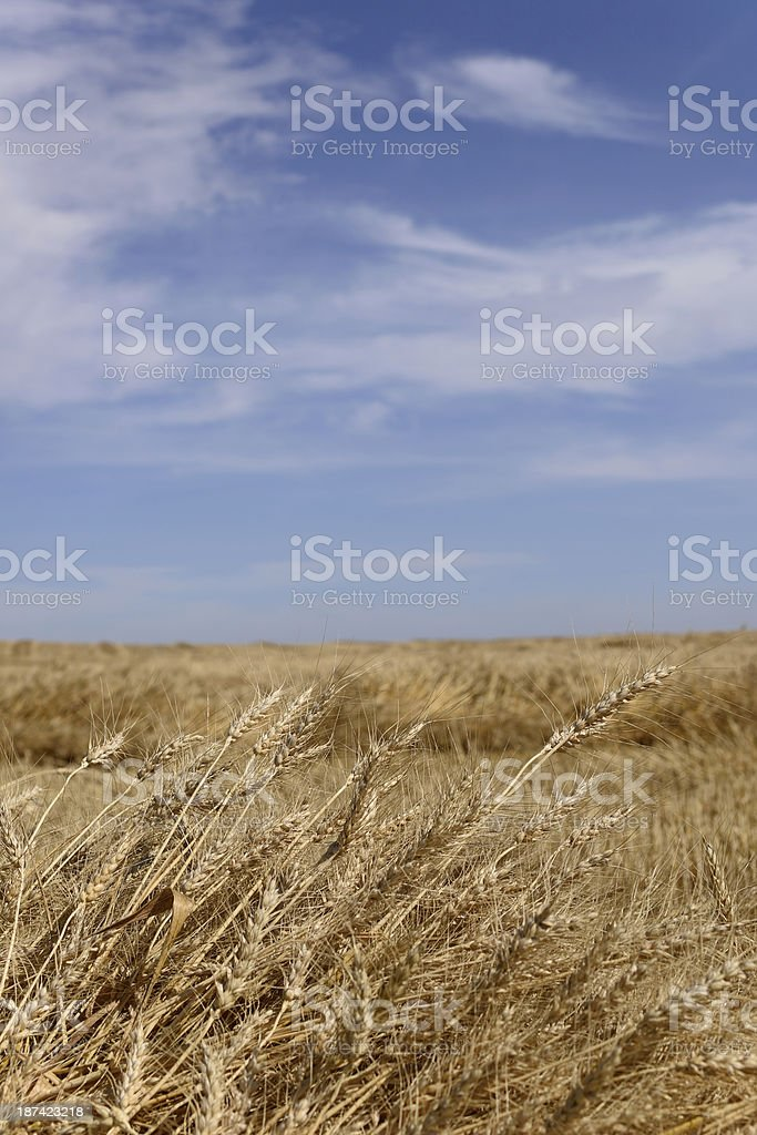 Harvested Wheat royalty-free stock photo