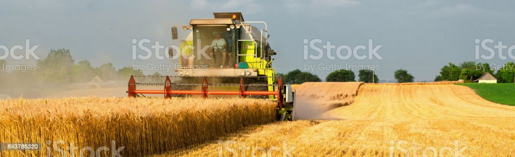 Harvester combine harvesting wheat in summer stock photo