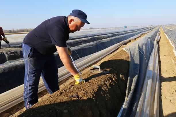 Harvester auf einem Spargelfeld – Foto