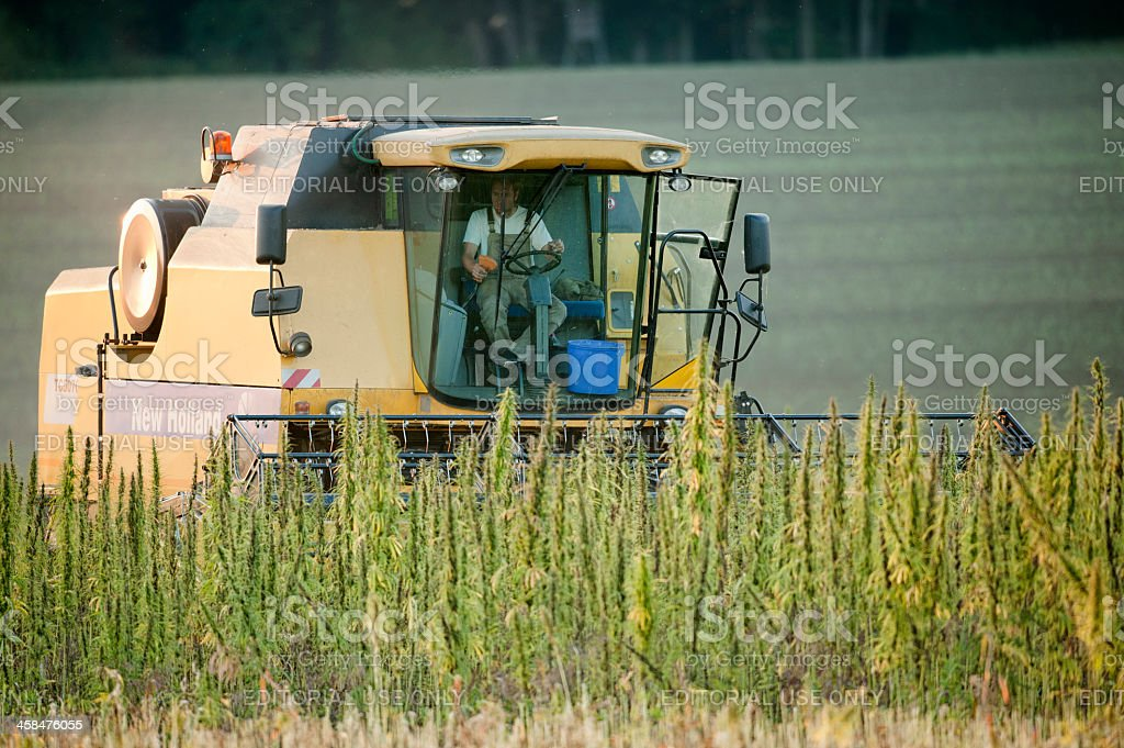 Harvester working on a hemp field stock photo