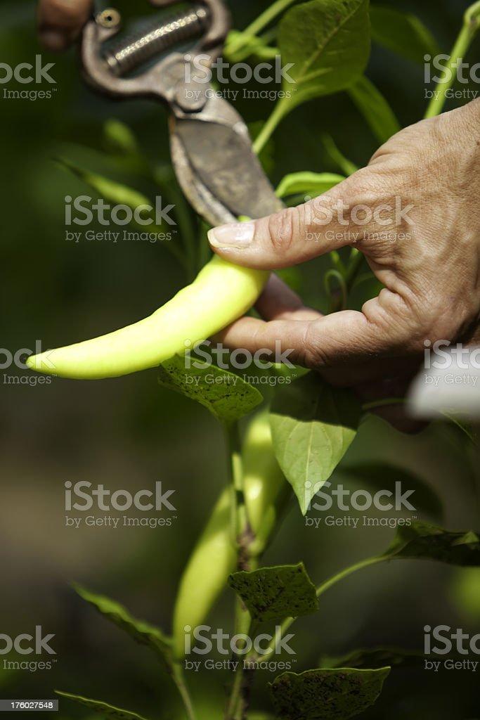 Harvesting a pepper stock photo