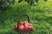 Harvesting. Apples in a basket on the grass under the branches of an apple tree.