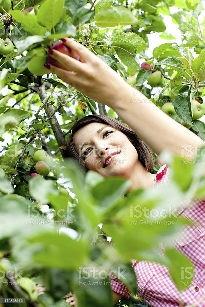 Harvesting apples royalty-free stock photo