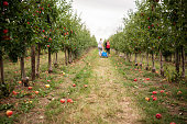 Thuringia, Germany: Fallen apples lie in an apple orchard during apple harvest.