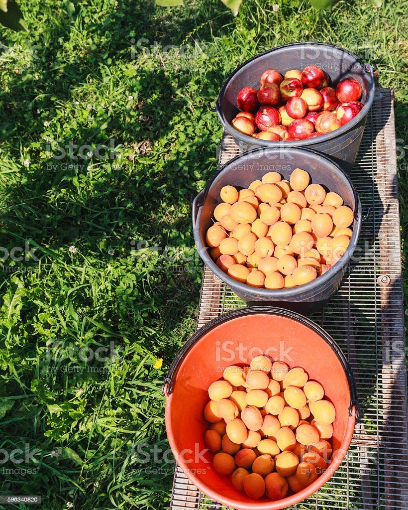 Harvesting apricots fruit royalty-free stock photo