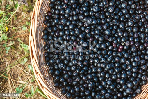 Close up of full basket's with Aronia