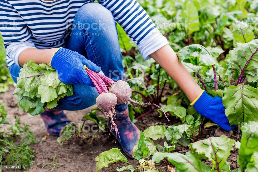 Harvesting at an organic farm. stock photo