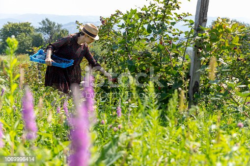 Woman harvesting organic blackberries at organic farm