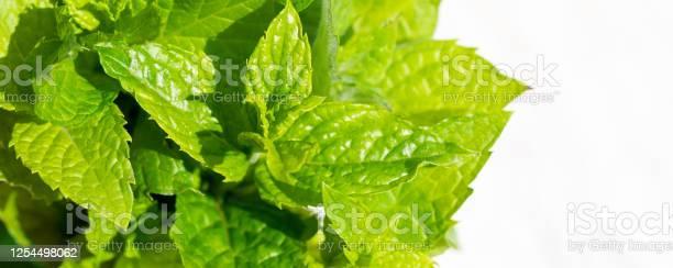 Harvesting bunch of fresh mint leaves in the garden picture id1254498062?b=1&k=6&m=1254498062&s=612x612&h=5sh7ven85qlktxl7sx o28fd65b6k9jivoitxstqnpa=
