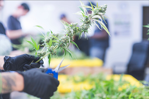576744724 istock photo Harvesting cannabis plants in an indoor commercial farm 861404876